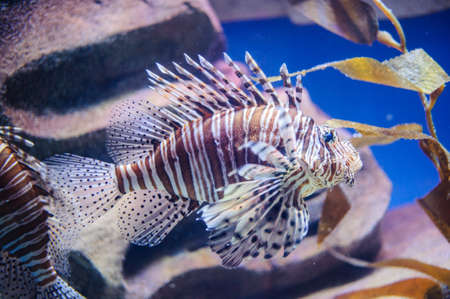 Highly Poisoned Lion Fish in Fish Tank photo