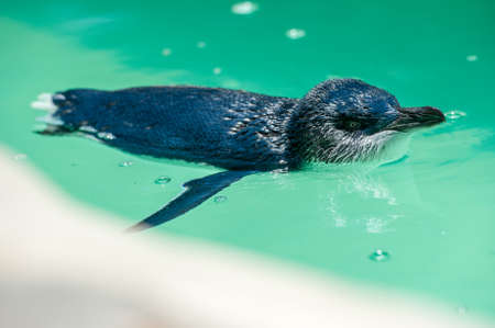 swim: A penguin swimming in a middle of a pool