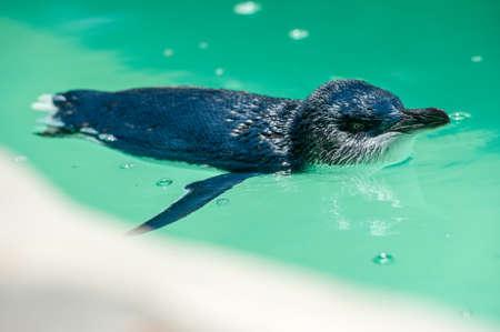 nadar: Un pingüino nadando en un medio de una piscina Foto de archivo