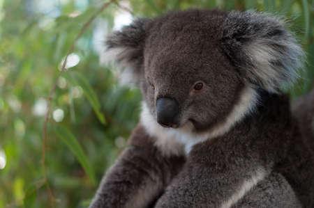 koala bear: A koala bear sitting on a branch on a tree