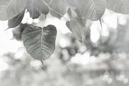 peepal: BW pho or bodhi leave buds under sunlight