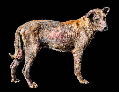 Dog skin disease no Black background