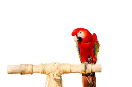loro: loros rojos hermosa y fondo blanco Foto de archivo
