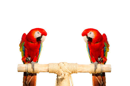 two parrots: two red parrots beautiful and white background Stock Photo