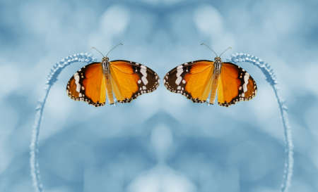 dept: Dual butterfly are beautiful created up one layer and flip horizontal picture and low dept of field.