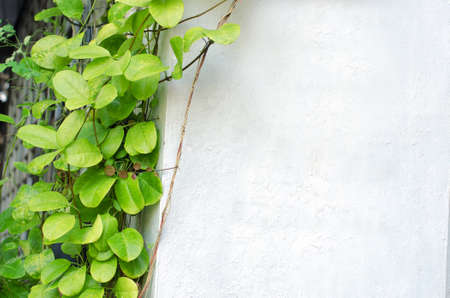 creeping plant: Creeping plant with a cement wall. Stock Photo
