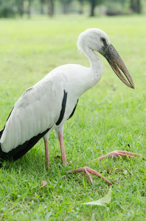 starving: A white bird famished and leg bent could not stand up to flying.