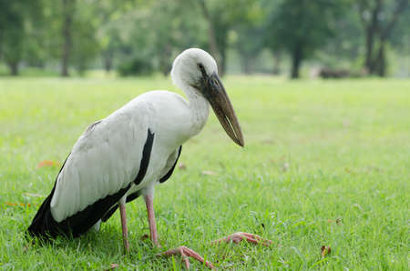 lacking: A white bird famished and leg bent could not stand up to flying it is lacking insufficient. Stock Photo