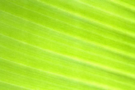 Banana leaf texture background of backlight fresh green .