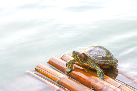 One turtle on bamboo raft in water Stock Photo