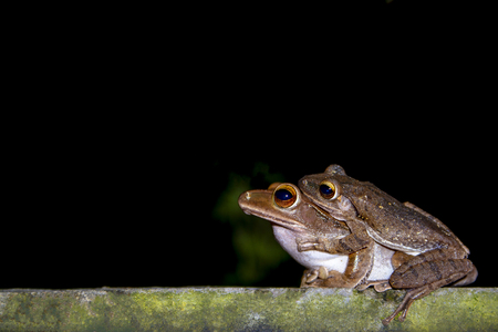 Green frog female with male breeding  in closeup