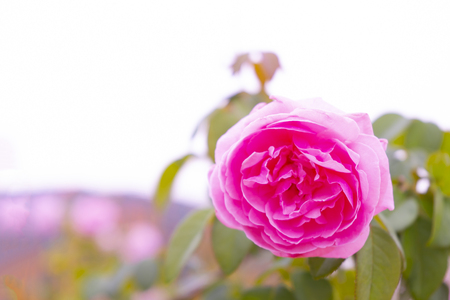 Pink rose flower in roses garden with soft focus.