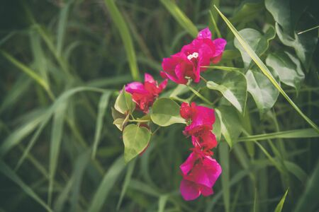 Pink flowers and green leaves background natural