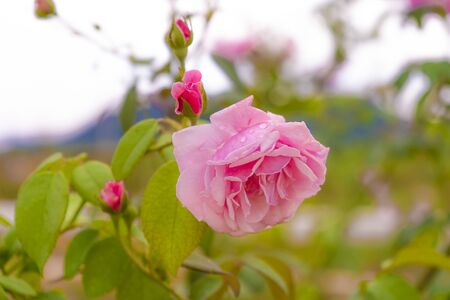 Pink rose flowering vintage In the garden