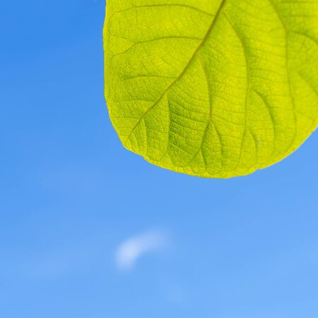 Green leaves with blue sky background, Square image, Copy space, nature backgraound Stock Photo