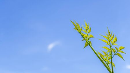 Green treetops with blue sky background, natural background for copy space