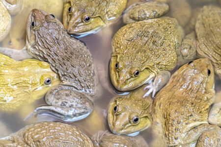 Many frogs, frog farms, mother frogs, frogs are an Asian-style food. Stock Photo