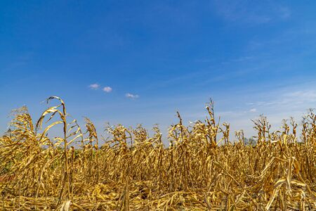 Cornfield brown color dried with the blue sky background