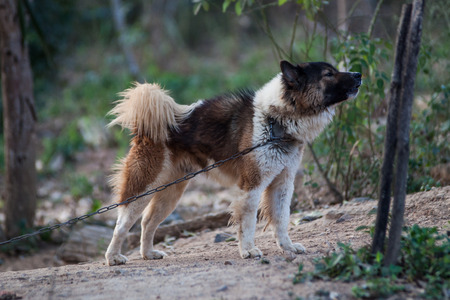 helpmate: Dog Breeders Bangkaew Can be kept at home Stock Photo