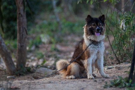enchain: Dog Breeders Bangkaew Can be kept at home Stock Photo
