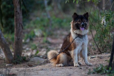 bulldoze: Dog Breeders Bangkaew Can be kept at home Stock Photo