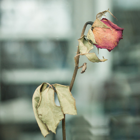 lovelorn: Dried roses Is not taken care