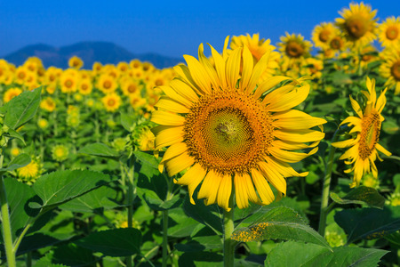 sunflower in Lopburi Province of Thailand photo