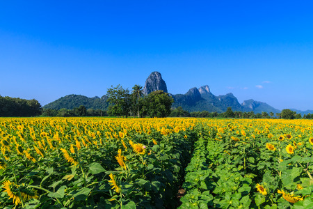 lop: sunflower in Lopburi Province of Thailand
