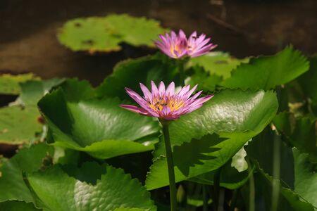 pink lotus flower in the lake photo