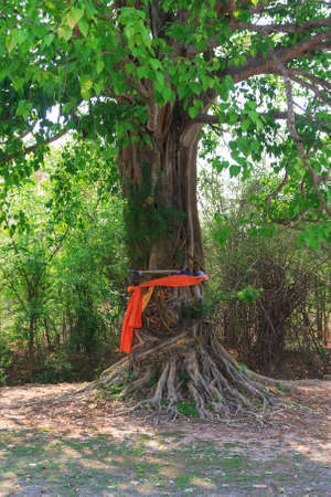 large trees: Tree of belief , Large trees was worshiped Stock Photo