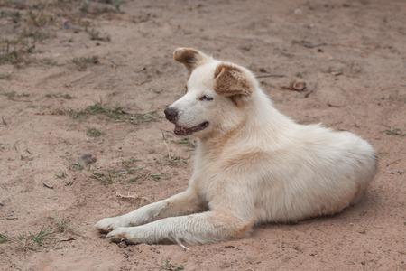 dutiful: Dog Bang Kaew breed of Thailand