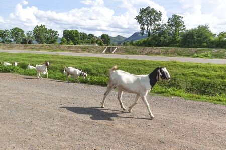 Goats are walking on the streets of the countryside Stock Photo
