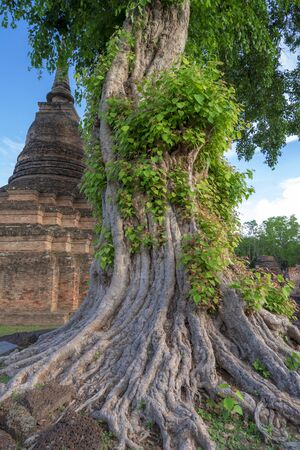 Roots of large trees in Thailand