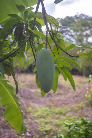Green mango in the garden