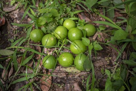 Lemon in the garden of Thailand