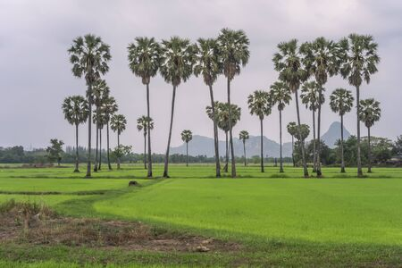 Green Rice Plant in the field of Thailand