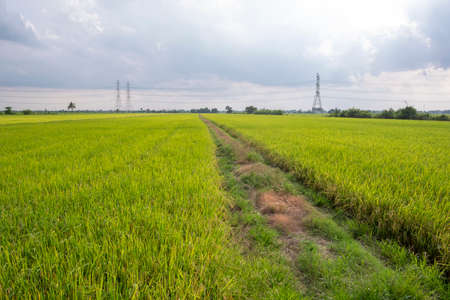 Rice field in local area of Thailand