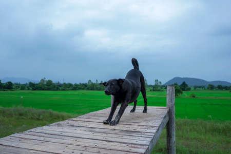 A black dog walking on a wooden bridge Standard-Bild