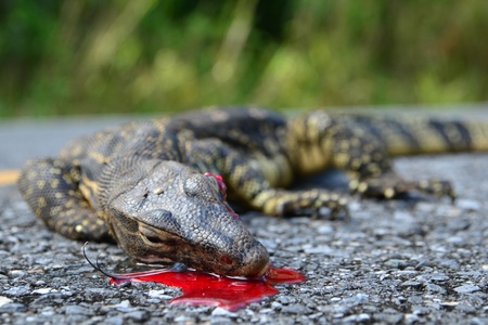 The remains of water monitor lizard (varanus salvator