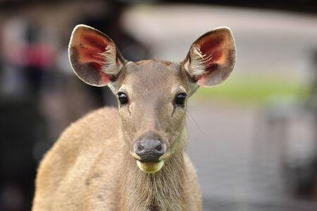Sambar Deer in Khao Yai National Park, Thailand photo