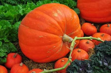 The big Pumpkin on garden photo