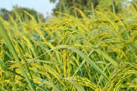 the golden rice photo
