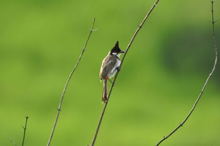 tele up: Red-whiskered Bulbul in nature