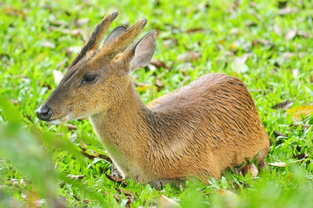 black tail deer: Barking deer
