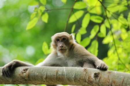 wildlife macaque in the nature Stock Photo