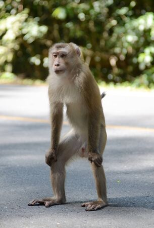 pig tailed macaque photo