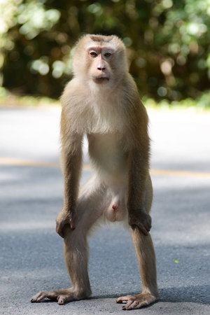 pig tailed macaque Stock Photo