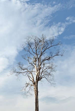 old dry tree on a cloudy sky photo
