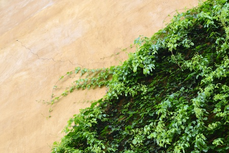 Italian style door, on ivy wall photo