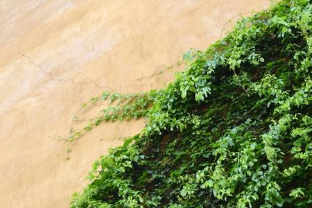 Italian style door, on ivy wall photo